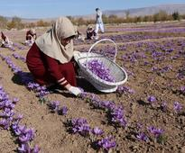 Kashmir saffron plan failing to revive crop, say water-starved farmers