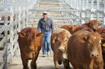 New cattle forward contract hedging tool hits the market