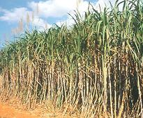 Cane growers' plight rocks UP Council,state-wide protests held