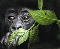 Colo, World's Oldest Known Gorilla, Dies At 60