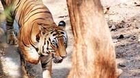 How Ranthambore Tiger Reserve's 'tatkal' scheme will benefit its tigers