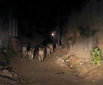 Residents Of Gujarat's Junagadh Had Some Surprise Visitors - Lions Roaming The Streets At Night
