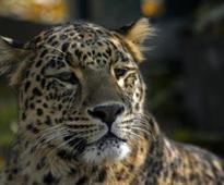 Couple woken by leopard in hotel room