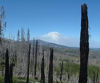 Do insect infestations make fire less severe?