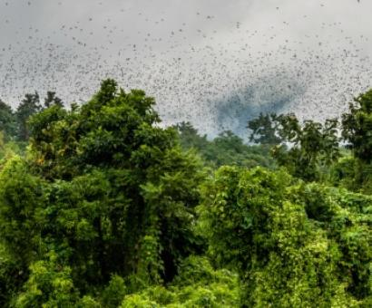 Nature's great spectacle: Watching Amur falcons roost in Nagaland