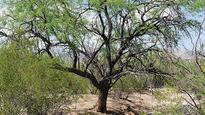 NGT refuses to stay tree felling in Aravalli