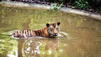 India's tiger population set to rise