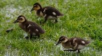 Driver not charged over Queenstown duckling deaths
