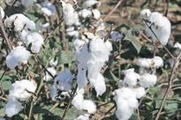 Pakistan's cotton imports to hold near record highs as output dwindles: Industry