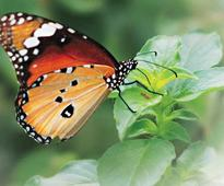 Butterflies, moths have been on Earth for at least 200 million years: Study