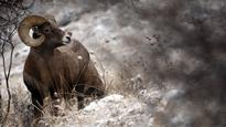 Bighorn sheep in B.C. dying from domestic sheep pneumonia