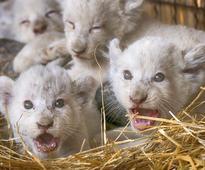 Ukraine zoo celebrates birth of white lion cubs (Photos)
