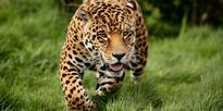 Leopard enters Bengal town, injures many