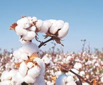 Cotton Corporation's fibre procurement jumps eight-fold this year