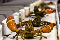 Live Lobster Sales to Asia Already top Last Year Says Exporter Maine Coast