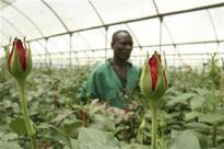 Kenya's flourishing flower sector is not all roses for Maasai herdsmen
