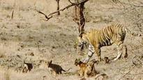 Spotted! Four cubs at Ranthambhore tiger reserve