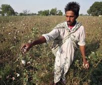 Monsanto loses, farmers win! Burkina Faso drops GM cotton over crop quality decline and economic losses
