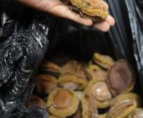 Abalone decimation feared
