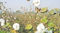 Punjab govt, PAU promote desi cotton varieties, but seeds not available