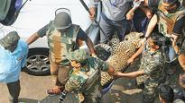 Caught in urban maze, leopard attacks 5 people