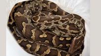 Endangered 'Rock python' spotted at Kadugodi