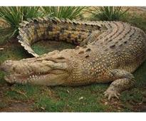 Crocodile rescued from palace lawn