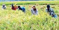 BINA Dhan-7 gains popularity in Barind area