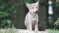 Train kills wolf pup in Banff after mother euthanized for snatching food