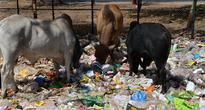 'Holy Cow' Turns Into 'Goldy Cow': Trace of Gold Found in Indian Cow Urine