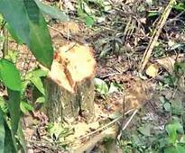 Tree felled, taken out of GU VC's quarters