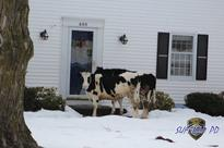 Warning: Escaped Cattle Selling Dairy Products Door To Door