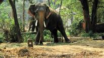 Two tuskers fall ill in Punnathoor