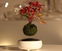 Air Bonsai: The unique floating tree for decorating your homes