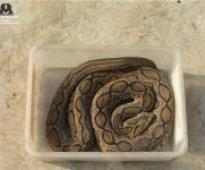 Rare Viper sighted in New Delhi, rescued by Wildlife SOS