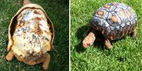 This Tortoise Badly Damaged His Shell in a Bushfire. But How They Fixed Him Up Is Mindblowing