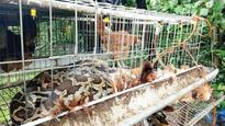 Python swallows 13 hens in Kalady