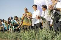 Residents harvest shallots during dry season