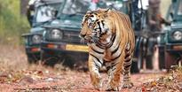 Tiger population in Periyar Tiger Reserve intact, shows census