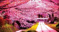 Orientation with cherry blossoms