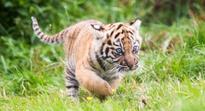 Meet Dharma, Fota Wildlife Park's new Sumatran tiger cub