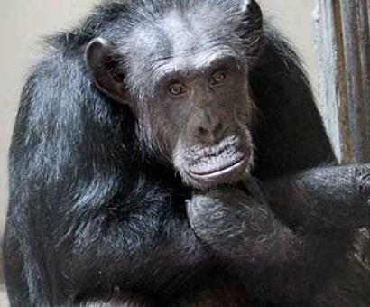PHOTO: Chimpanzee walks free, creates panic in Hyd zoo