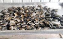 Karimeen in high demand: state buying from neighbouring Andhra