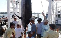 Fisherman captures monster 838 pound marlin during competition