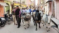 Gautam Budh Nagar fails to keep track of cattle