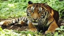 Jairam urges Naveen to save tiger population in Odisha