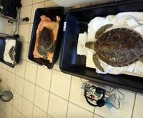 Hospital turns turtle with this tumour emergency