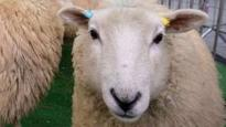 Chernobyl sheep rules 'unnecessary'