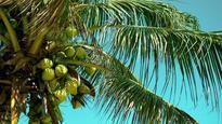 Battle moves to court after Goa govt de-recognises coconut as a tree
