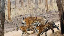 Two tigers found dead in Kanha reserve, toll in MP reaches 14
